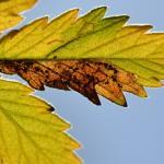 Stigmella aeneofasciella - Messingbandmineermot