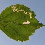 Stigmella confusella - Neerpelt ~ Het Hageven (Limburg) - 05-09-2020 ©Steve Wullaert