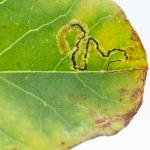 Stigmella freyella - Nieuwpoort ~ De IJzermonding (West-Vlaanderen) - 04-07-2020 ©Damien Gailly