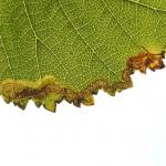 Stigmella lemniscella - Koksijde ~ Doornpanne (West-Vlaanderen) 05-10-2019 ©Steve Wullaert