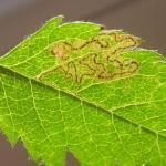 Stigmella magdalenae Grijze lijsterbesmineermot