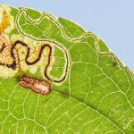 Stigmella malella Appelbladmineermot