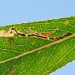 Stigmella nivenburgensis - Dilsen-Stokkem ~ Negenoord-Kerkeweerd (Limburg) 25-07-2020 ©Steve Wullaert