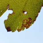 Stigmella oxyacanthella - Marche-en-Famenne ~ Les Brulés (Namen) - 20-09-2020 ©Steve Wullaert