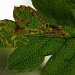 Stigmella oxyacanthella - Boogjesmineermot