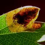 Stigmella paradoxa - Meidoornblaasmijnmot
