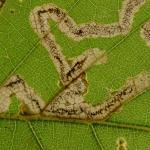 Stigmella samiatella - Bruine eikenmineermot