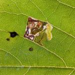 Stigmella tiliae op linde - Koersel ~ De Vallei van de Zwarte Beek (Pro. Lim.) 05-10-2013 ©Steve Wullaert