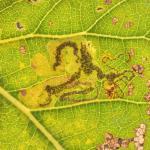 Stigmella trimaculella - Diepenbeek ~ De Maten (Limburg) 17-10-2020 ©Steve Wullaert