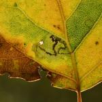 Stigmella trimaculella - Koksijde ~ Doornpanne (West-Vlaanderen) 05-10-2019 ©Steve Wullaert