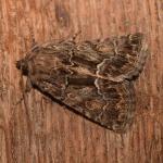 Thalpophila matura ~ Opglabbeek ~ Mijnterril - Zwarte Berg (Limburg) 17-08-2019 ©Steve Wullaert