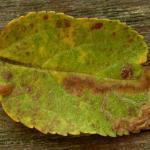 Stigmella malella - Appelbladmineermot