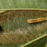 Phyllonorycter maestingella - Beukenvouwmot