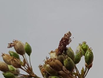 Coleophora silenella - IJlbestippeld silenekokermotje