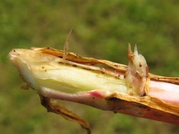 Mompha ochraceella - Gele wilgenroosjesmot