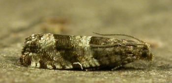 Rhopobota myrtillana - Bosbesbladroller