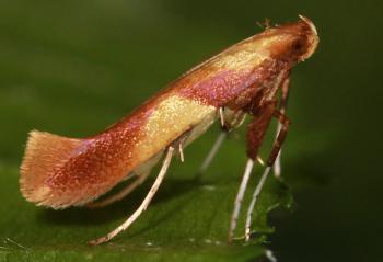 Caloptilia alchimiella - Eikensteltmot