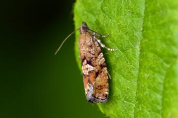 Zeiraphera ratzeburgiana - Naaldboombladroller