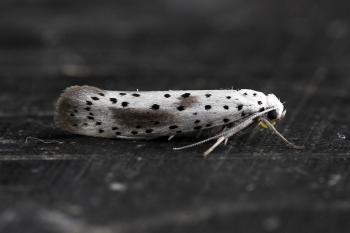 Yponomeuta rorella - Wilgenstippelmot