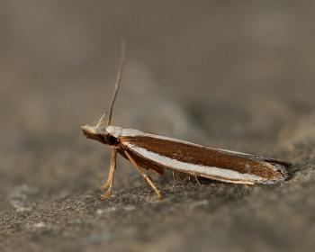 Dichomeris marginella - Jeneverbesmot