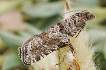 Rhopobota stagnana - Duifkruidbladroller