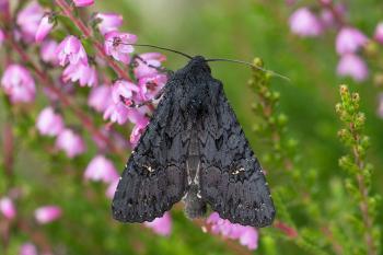 Aporophyla nigra - Genk ~ De Maten (Limburg) 26-09-2021 ©Damien Gailly