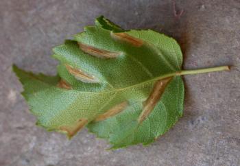 Parornix betulae - Berkenzebramot