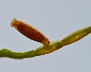 Coleophora coronillae - Zwavelgele peulkokermot