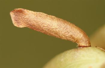 Coleophora gallipennella - Hokjespeulkokermot
