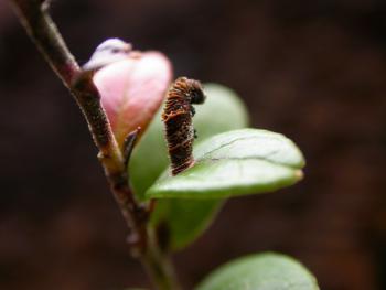 Coleophora vitisella - Kromme bosbeskokermot