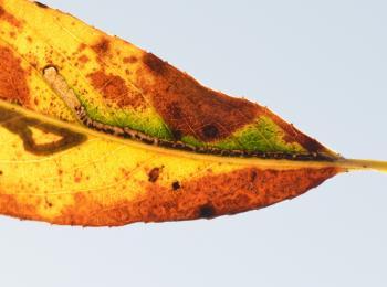 Stigmella nivenburgensis - Smalle wilgenmineermot