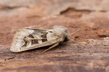 Episema glaucina - Furfooz ~ Parc naturelle de Furfooz (Namen) 09-10-2021 ©Damien Gailly