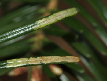 Argyresthia fundella - Grofgevlekte pedaalmot