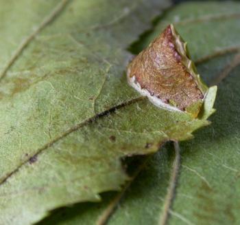 Parornix scoticella - Appelzebramot