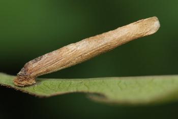 Coleophora inulae - Alantkokermot