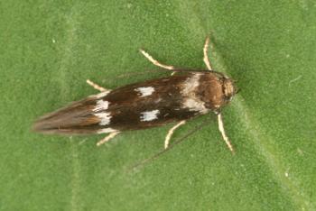 Elachista quadripunctella - Viervlekmineermot