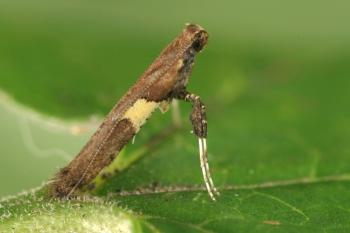 Caloptilia semifascia - Gehaakte esdoornsteltmot