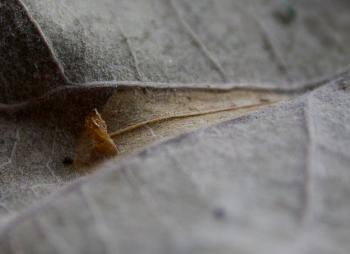 Phyllonorycter muelleriella - Gevlekte eikenvouwmot
