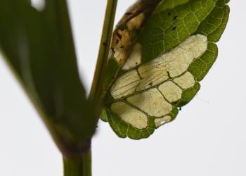 Prochoreutis sehestediana - Zuidelijke glidkruidmot