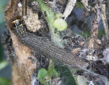 Scythris picaepennis - Goudspikkelige dikkopmot