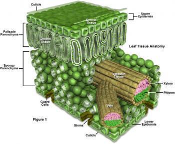 © Kvhs.nbed.nb.ca >> leaf structure <<