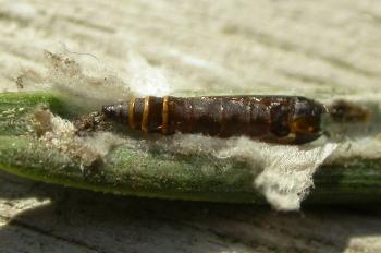 Ocnerostoma piniariella - Grijs naaldkwastje