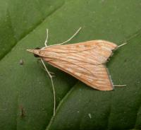 Antigastra catalaunalis - Sesammot