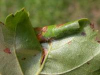 Caloptilia betulicola - Bruine berkensteltmot