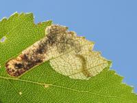 Eriocrania sparrmanella - Andenne ~ Réserve naturelle de Sclaigneaux (Luik) 13-06-2021 ©Steve Wullaert