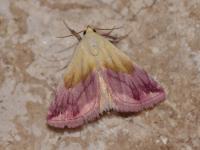 Eublemma purpurina - Trooz ~ La Rochette (Luik) 09-06-2019 ©Steve Wullaert