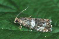 Epinotia fraternana - Gezoneerde oogbladroller