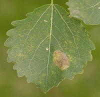 Phyllonorycter sagitella - Rode espenvouwmot