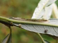 Phyllonorycter viminetorum - Grauwe wilgenvouwmot