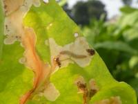 Phtorimaea operculella - Aardappelmot